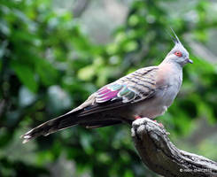 Crested Pigeon by meihua