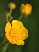 Buttercups by Somasemaj