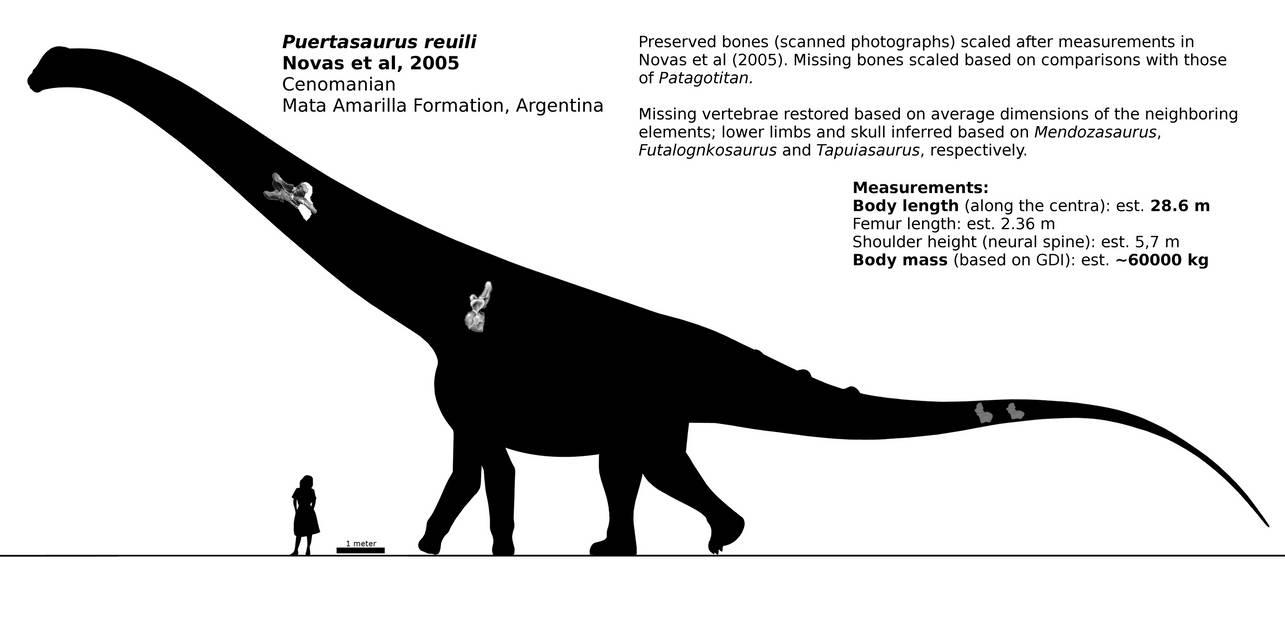 [Image: puertasaurus_reuili_schematic__by_random...x8-pre.jpg]