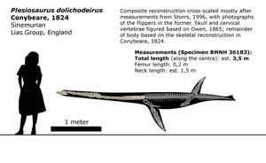 Plesiosaurus dolichodeirus schematic. by randomdinos