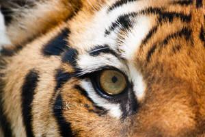 The Eye of the Tiger by Kiara-Vestigium