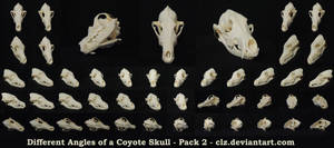 Different Angles of a Coyote Skull Pack 2 by AshenCreative
