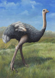 Ostrich by EWilloughby