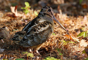 American woodcock by EWilloughby
