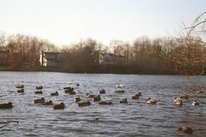 Ducks by Vigorousjammer