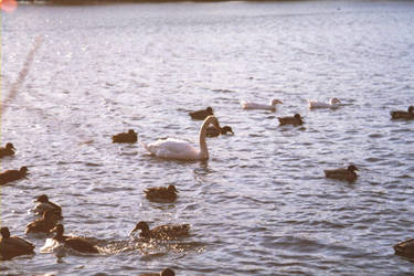 The Beautiful Duckling by Vigorousjammer