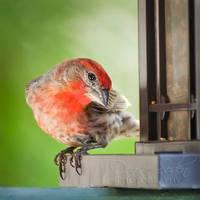 House Finch by DeniseSoden