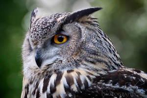 European Eagle Owl by DeniseSoden