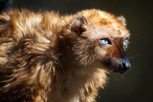 Blue-eyed Black Lemur by DeniseSoden