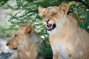Kalahari Lions 626 by DeniseSoden