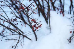 WinterBerry by KenielOdoms