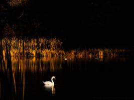 Swan Nov/2015 by KBeezie