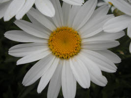 Daisy by dragondoodle