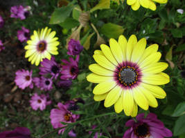 Yellow and Purple Daisies 2 by dragondoodle