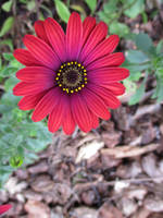 Red Daisy 2 by dragondoodle