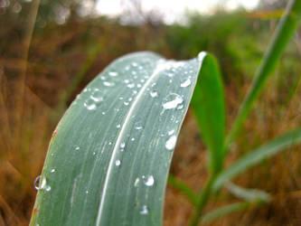 Water Drops on Grass by midoriakaryu