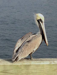 pelican in Pensacola by midoriakaryu