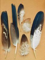 Aquila chrysaetos by Symatorotoro
