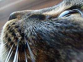 Lynx closeup 2 by Moonglow14