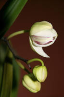 Orchids by DalMax
