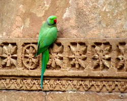 parrot in India by gosiekd