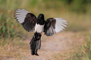 magpie landing by phalalcrocorax
