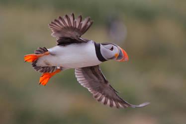 puffins : the atlantic way... by phalalcrocorax