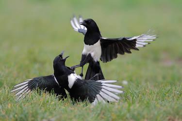 Kung fu magpie by phalalcrocorax