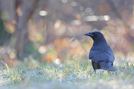 Ravenworld by phalalcrocorax