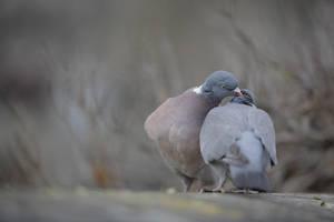 Did I say wood pigeon ? :D by phalalcrocorax