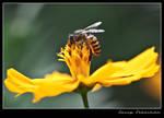 Bee-2 by lessysebastian