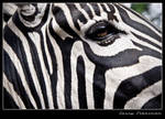 Zebra by lessysebastian