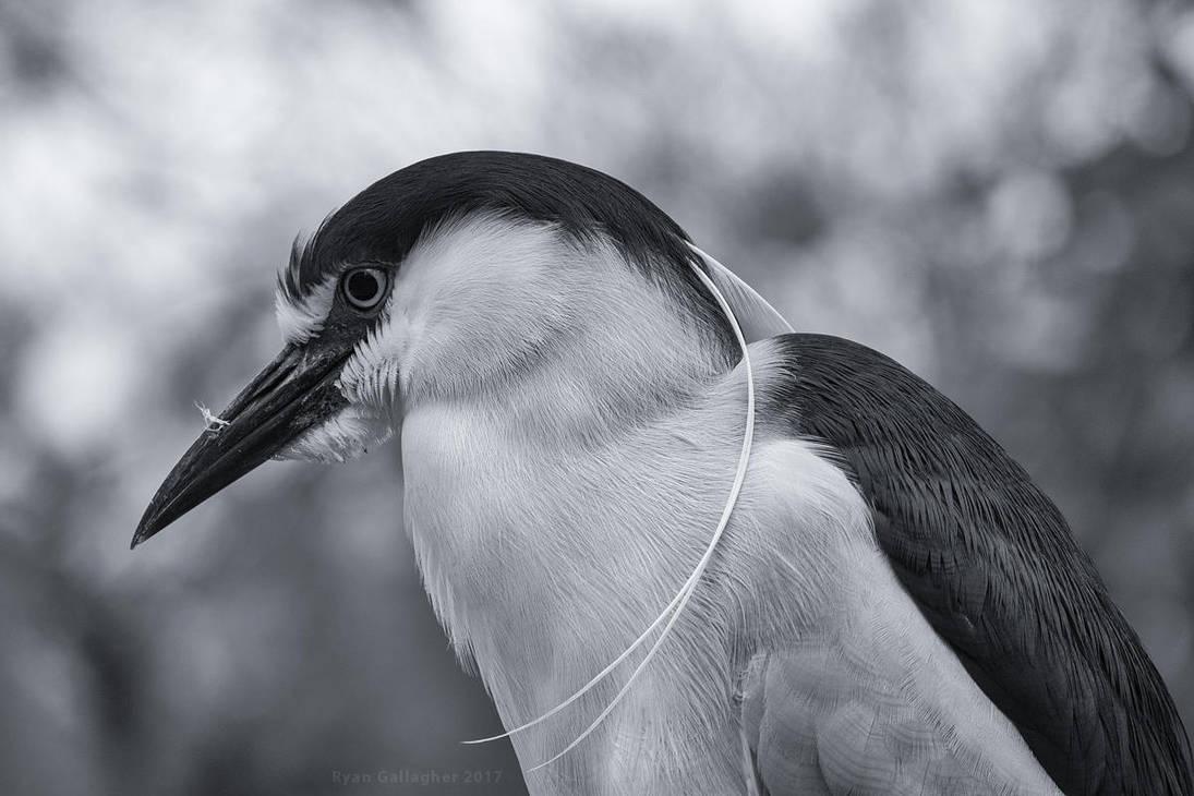 Black-crown Night-heron by ryangallagherart