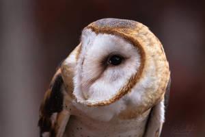 Barn Owl by ryangallagherart