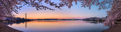 Dawn Cherry Blossoms at the Tidal Basin by ryangallagherart