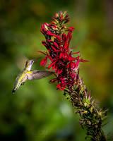 Female Ruby Throated Hummingbird by ryangallagherart