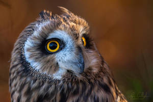 Male Short Eared Owl by ryangallagherart