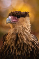 Southern Crested Caracara by ryangallagherart