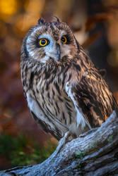 Male Short Eared Owl 2 by ryangallagherart