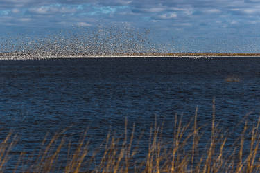 Snow Geese at Bombay Hook by ryangallagherart