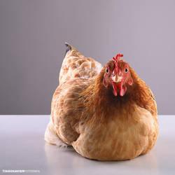 the Chicken PHOTOSHOOT by tiago-xavier