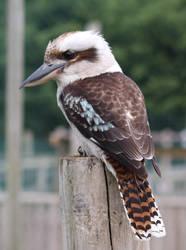Kookaburra  2 by fuguestock