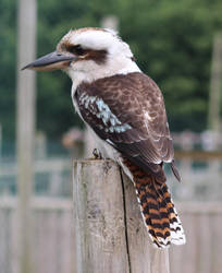 Kookaburra 1 by fuguestock