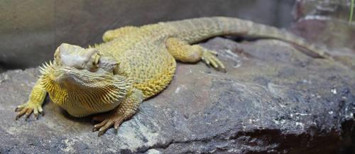 Bearded dragon 2 by fuguestock