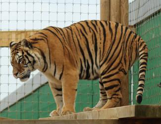 Bengal Tiger 3 by fuguestock