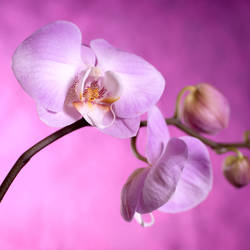 Pink Orchid by danderson107