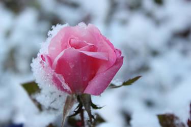 Snowy Rose by Kimicat1