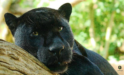Black Panther by frankwyte81
