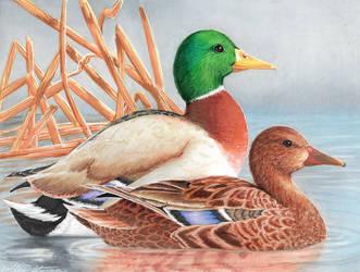 Mallard Ducks - Copic - 2018 by SamalaKatal