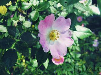Wild rose by Hekkoto